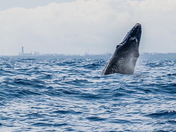 photographie par Gko Prod faune reunion baleine ocean indien