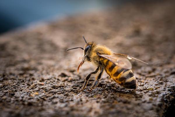 photographie par Gko Prod abeille nature reunion faune