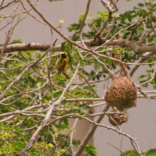 nid oiseau bélier Réunion