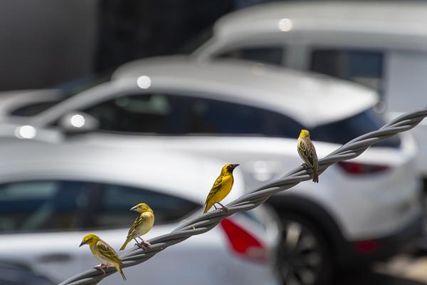 oiseau bélier Réunion