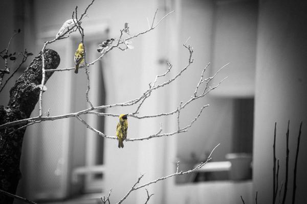 élagage nid bois noir oiseau bélier Réunion coucher de soleil