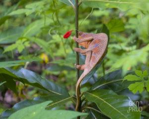 Endormi caméléon réunion faune