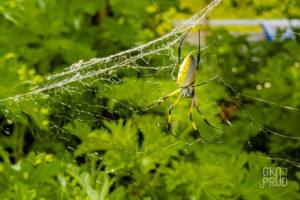 Araignée bibe Réunion faune