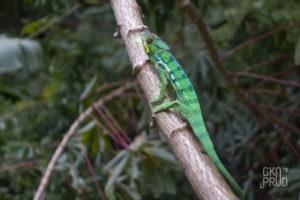 Endormi caméléon femelle réunion faune
