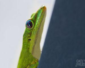 gecko vert de Madagascar