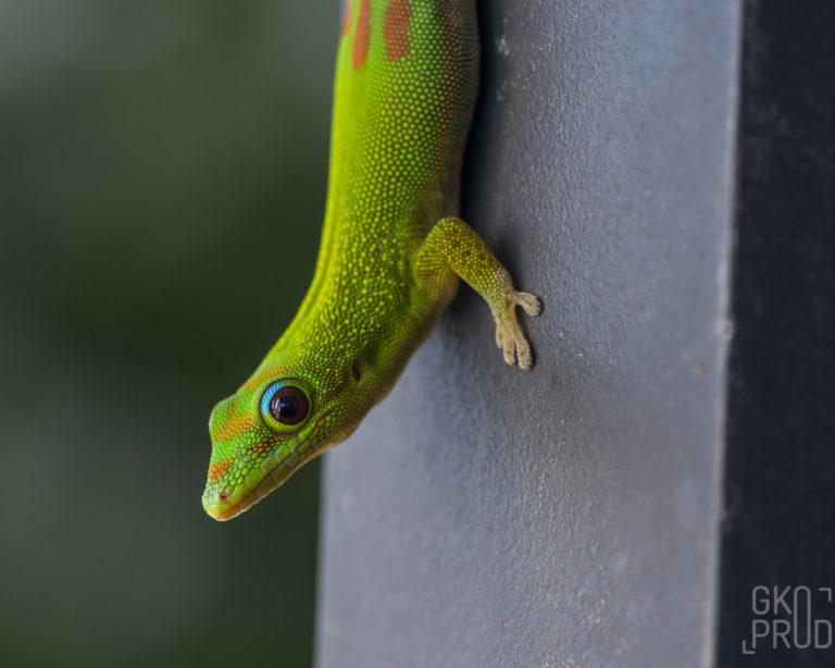 invasion gecko vert de Madagascar